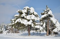 Tannenbaum mit einer Schneekappe im Winter Stockfotografie