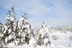 Tannenbaum mit einer Schneekappe im Winter Lizenzfreie Stockfotos