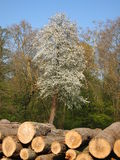 Tannenbaum mit hölzernen Protokollen Stockbild