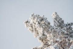 Tannenbaum unter Schnee Stockbild