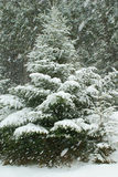 Tannenbaum unter Schneefällen mit Schnee umfasste Niederlassungen im Winter Stockfoto
