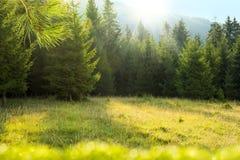 Tannenbaum-Waldlichtung mit Morgensonnenstrahlen Stockbilder