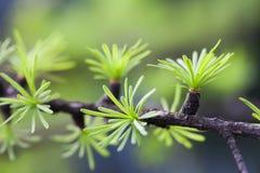 Tannenbaumast mit jungen grünen Blättern Gezierte Nadelmakroansicht Weicher Hintergrund Flache Schärfentiefe nave Stockfotos