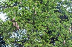 Tannenbaumhintergrund Stockbild