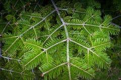 Tannenbaumniederlassungen Stockbild