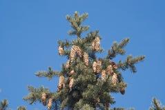 Tannenbaumoberseite mit Kegeln auf den Zweigen getrennt Stockfotografie