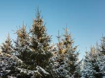 Tannenbaumwald abgedeckt mit Schnee stockfoto