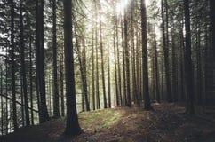 Tannenbaumwald mit der Sonne, die am Bergabhang scheint Lizenzfreies Stockbild
