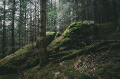 Tannenbaumwald mit Klippen und grünem Moos Stockfotografie