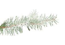 Tannenbaumzweig gespritzt mit dem Schnee, getrennt Stockbild