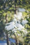 Tannenbaumzweig umfaßt mit Schnee Lizenzfreies Stockfoto