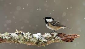 Tannenmeise (Periparus-ater) in fallendem Schnee. Lizenzfreie Stockfotografie
