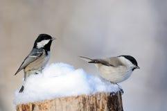 Tannenmeise und Willow Tit im Schnee Lizenzfreie Stockbilder