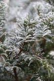 Tannennadeln im Winter Stockfotografie