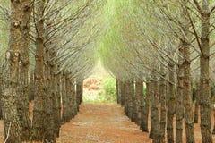 Tannenplantage Stockbild