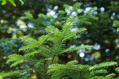 Tannenzweig im Wald Stockbilder