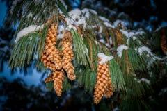 Tannenzweig mit den Kiefernkegeln bedeckt durch Schnee in ` Aosta Valle d Lizenzfreie Stockfotografie