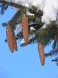 Tannenzweig mit Kegeln und Schnee Stockfoto