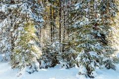 Tannenzweige im Wald bedeckt mit Schnee Lizenzfreies Stockbild