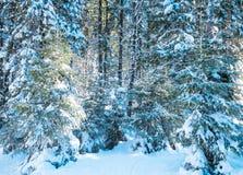 Tannenzweige im Wald bedeckt mit Schnee Stockfotos