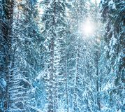 Tannenzweige im Wald bedeckt mit Schnee Lizenzfreie Stockfotos