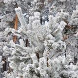 Tannenzweige mit Schnee Lizenzfreies Stockbild
