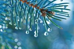 Tannenzweige mit Wassertropfen Stockfoto