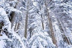 Tannenzweige umfaßt mit Schnee Lizenzfreie Stockfotografie