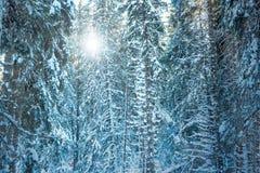 Tannenzweige umfaßt mit Schnee Stockfoto