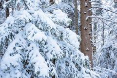 Tannenzweige umfaßt mit Schnee Stockfotos