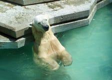 Tanning polar bear Stock Image