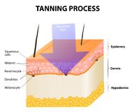 Tanning process. Skin. Human anatomy Royalty Free Stock Photo