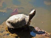 Tanning Turtle Stock Image