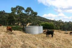 Tanque de água do ferro ondulado com as vacas no prado imagem de stock