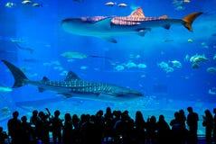 Tanque principal do mar de Kuroshio em Okinawa Churaumi Aquarium imagens de stock