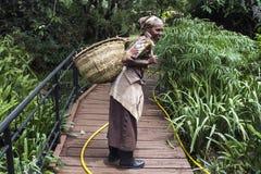 Tansanische Frau arbeitet im Kaffeebauernhof und in tragendem Korb lizenzfreie stockfotos