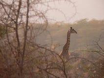 Tansanische Giraffe Stockfoto
