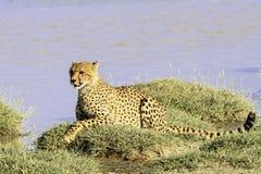 Tansanischer Gepard im Serengeti stockfotos