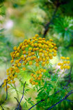 Tansy Stock Photos