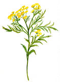 Tansy Stock Images