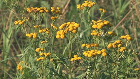 Tansy. stock footage