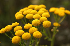 tansy Image stock