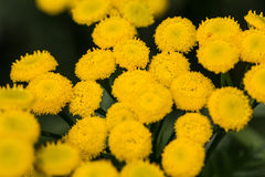 tansy Photos stock