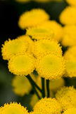 tansy Photographie stock