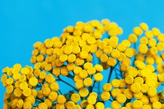 Tansy against the sky. Yellow flowers close-up on a blue background. Medicinal herbs. Sample of contrasting color. Tanasetum. A bouquet of pharmacy herbs stock photo