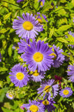 Tansy aster flowers Stock Photos