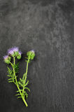 Tansy bleu Photographie stock