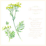 Tansy, botanical vector illustration. Royalty Free Stock Images