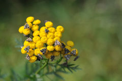 Tansy with butterflies Stock Image