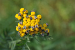 Tansy with butterflies Stock Photography